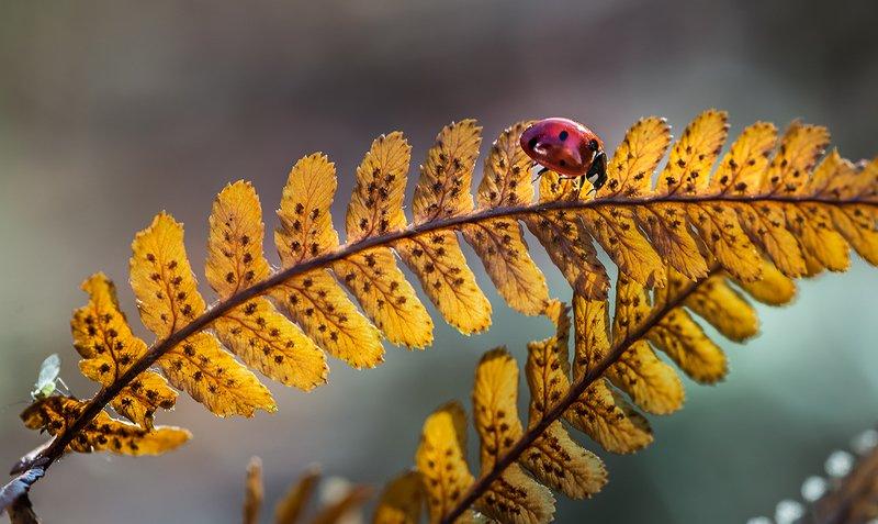 природа, макро, осень, насекомое, жук, божья коровка, растение, папоротник Золотой эшелонphoto preview