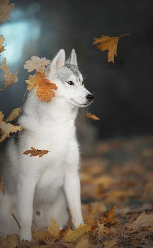 husky, dogs, siberian husky Autumn Hakuphoto preview