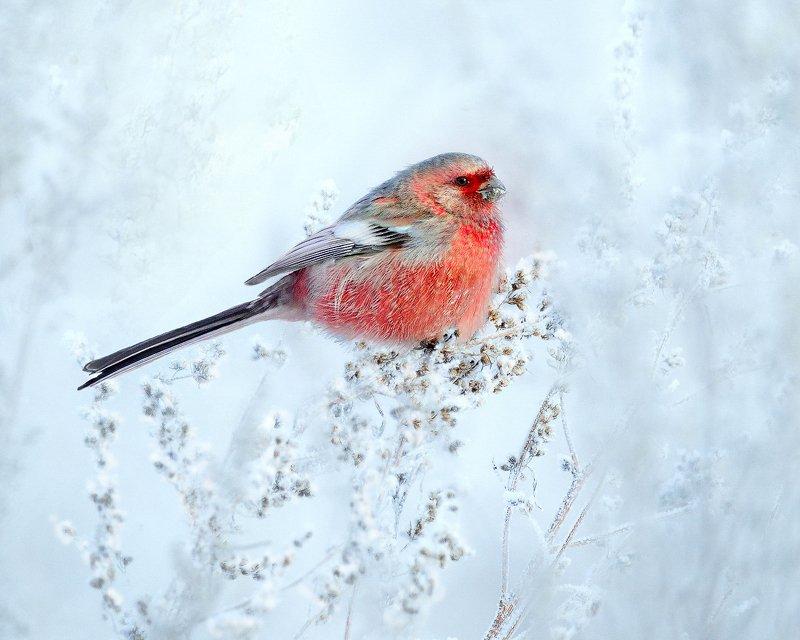 природа, фотоохота,  птицы, животные, зима, урагус, длиннохвостый снегирь Краски зимнего лугаphoto preview