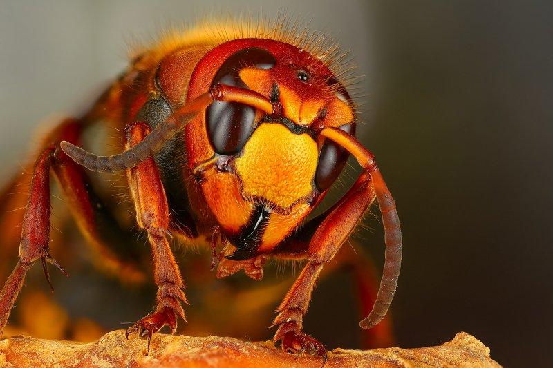 шершень макро природа оранжевый цвет портрет Шершень photo preview