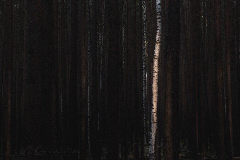 Урал, Средний Урал, береза, берёза, сосна, лес Чужой среди своихphoto preview