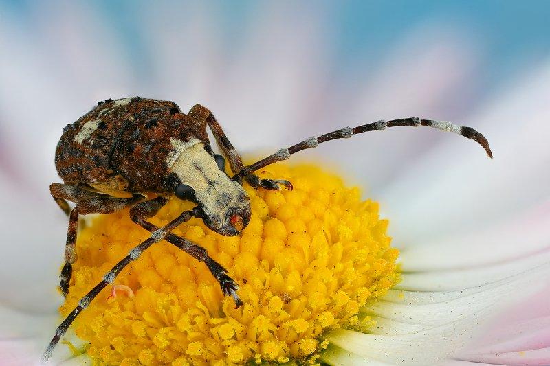 жук макро природа коричневый усы цвет синий цветок Ложнослоник беловатыйphoto preview