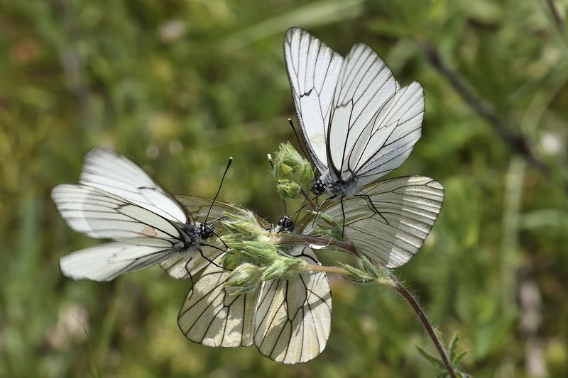 бабочка  butterfly Aporia crataegiphoto preview
