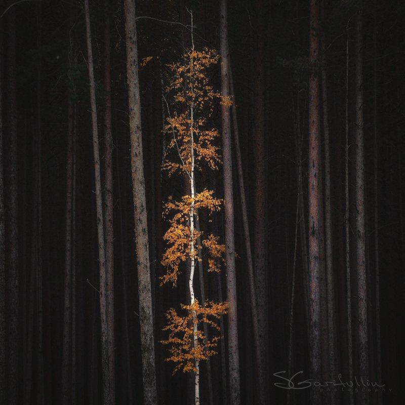 Урал, Средний Урал, береза, осень, сосны Усыпанный золотом photo preview