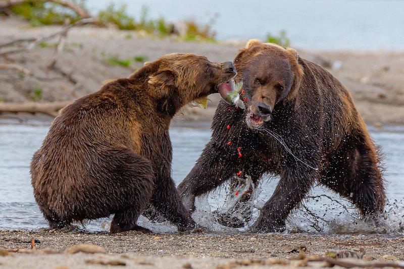 камчатка, медведь, природа, путешествие, фототур, животные Не поделилиphoto preview