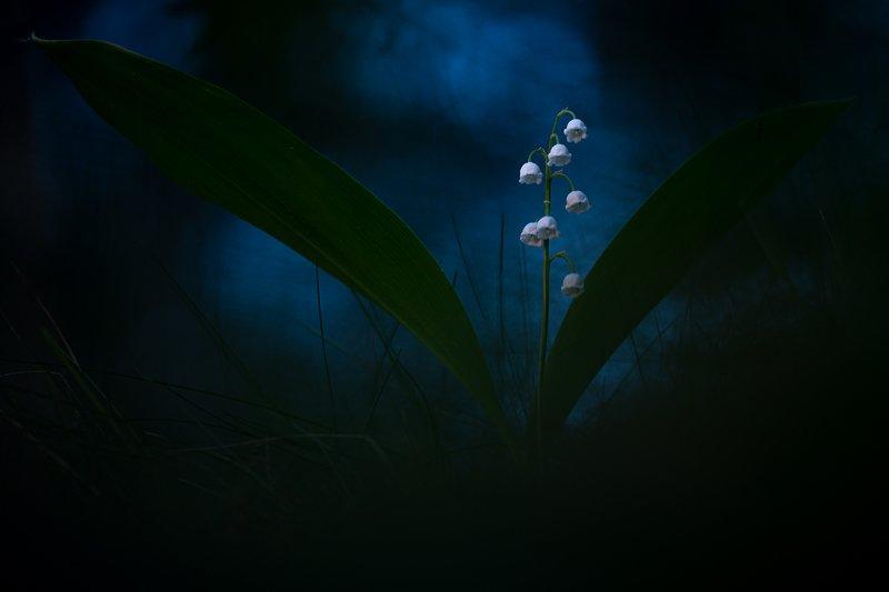 ландыш, макро, растения, природа,цветы, флора, дикие цветы Белые ночиphoto preview