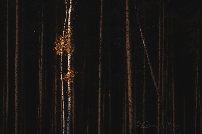 Урал, Средний Урал, березы, сосны, лес, осень Танецphoto preview