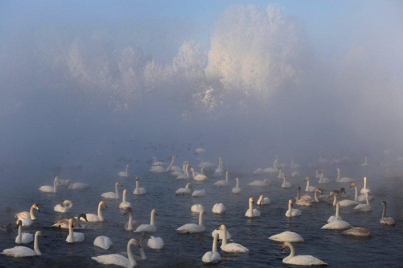 алтай, алтайский край, село урожайное, озеро светлое, лебяжье озеро, лебеди, мороз, зима, снег Утро уходит с туманомphoto preview