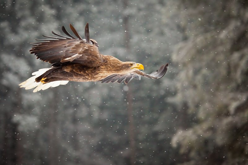 Sea Eaglephoto preview