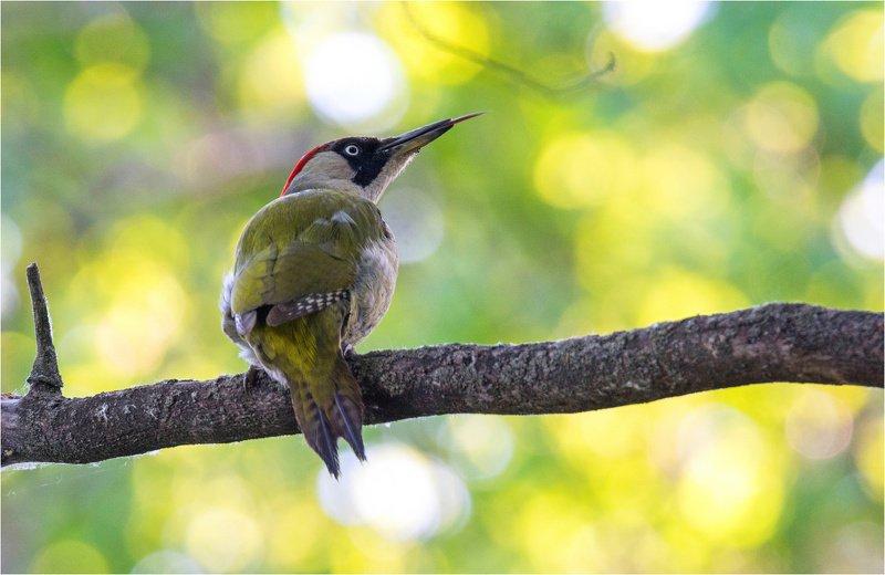 зеленый дятел птица весна Мисс \
