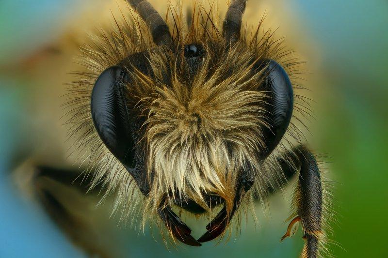 пчела макро природа портрет цвет синий зеленый Прическаphoto preview