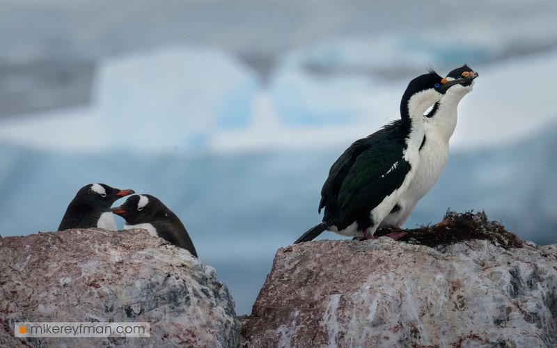 cuverville island, blue-eyed shag, dramatic, polar climate, antarctic, antarctica, cold, romantic, extreme, gentoo penguin, chinstrap penguin Весна. Любовь.photo preview