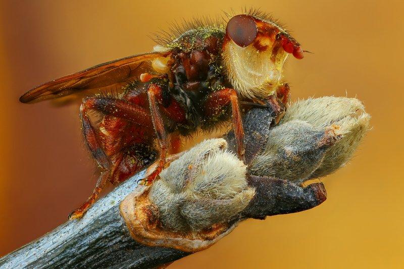 муха макро природа оранжевый цвет  Миопаphoto preview