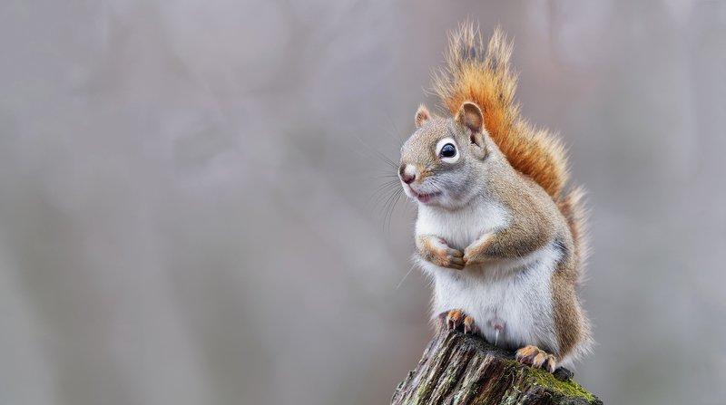 American red squirrel (Tamiasciurus hudsonicus)photo preview