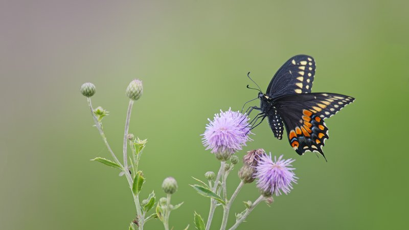 Black Swallowtail ( Papilio polyxenes )photo preview