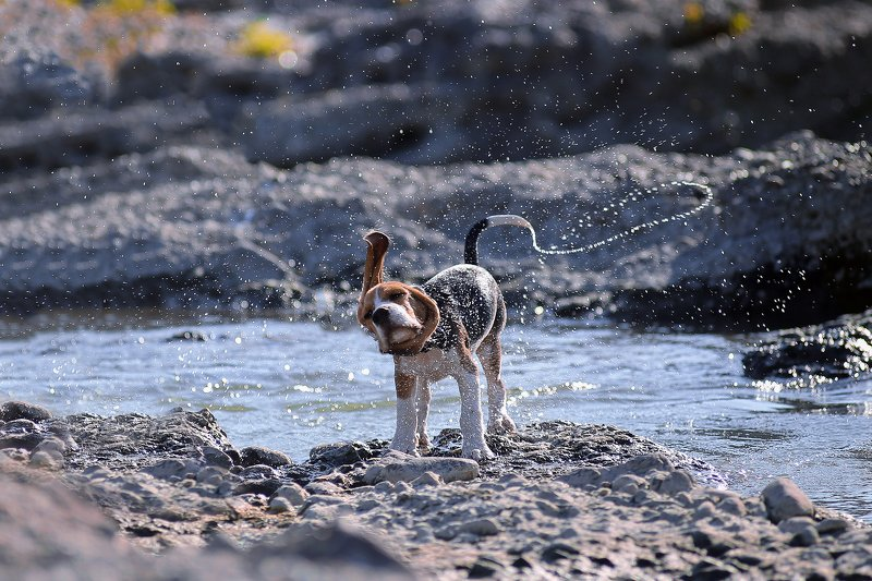 dog, beagle, motion, drops, water, moving Dogs in motionphoto preview
