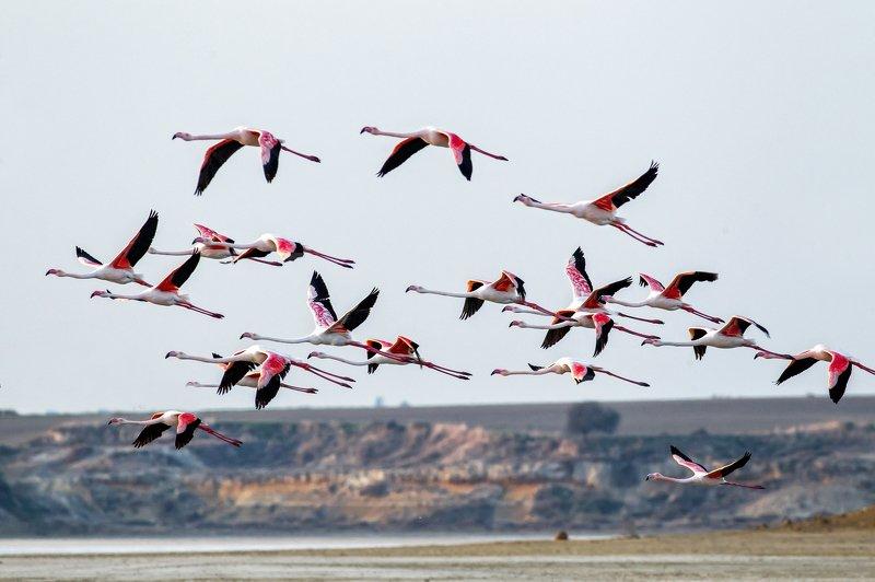 Фламинго, Flamingo, larnaca, Cyprus, Fly, Кипр, Соляное озеро, птицы Полет Фламингоphoto preview