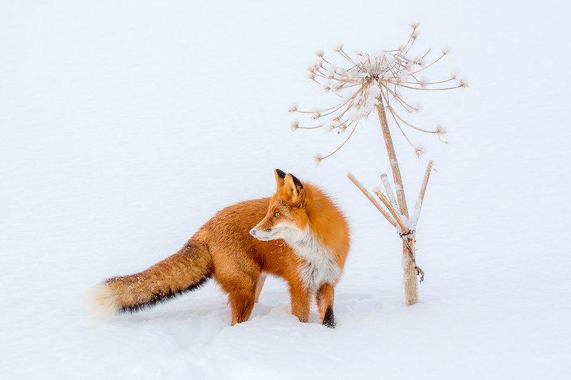 камчатка, лиса, природа, путешествие, фототур, животные, зима Зимний натюрмортphoto preview