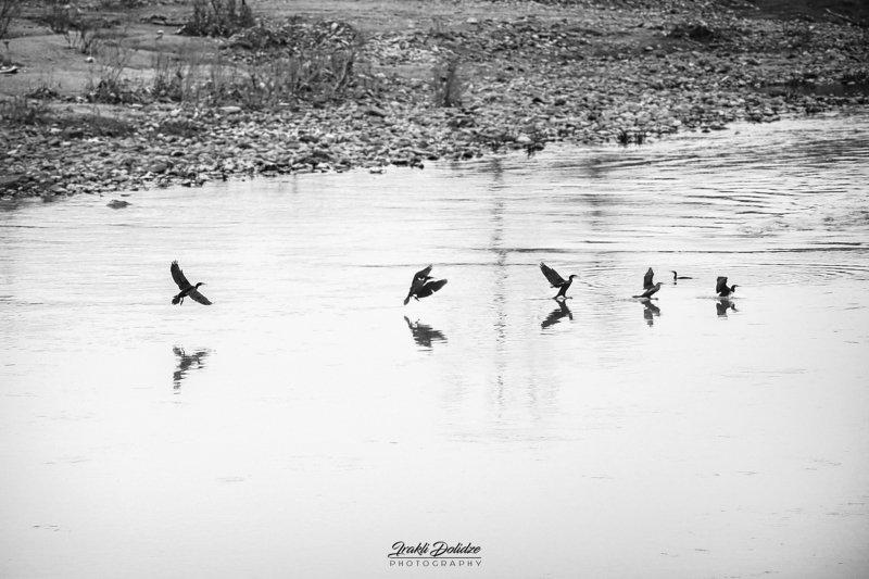 bird, wildlife, photography, outdoor, river, birds Phalacrocorax carbo - Great Cormorantphoto preview