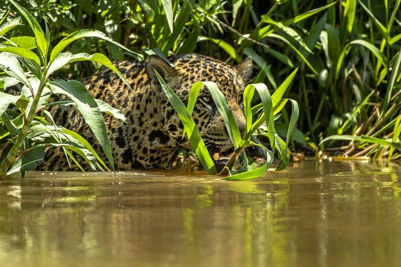 бразилия.ягуар В болотной \