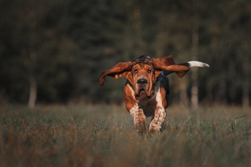 бассет, собака, бассет-хаунд, бежит, питомец, движение, уши, пёс, любимец «Под крылом самолёта о чём-то поёт...»photo preview