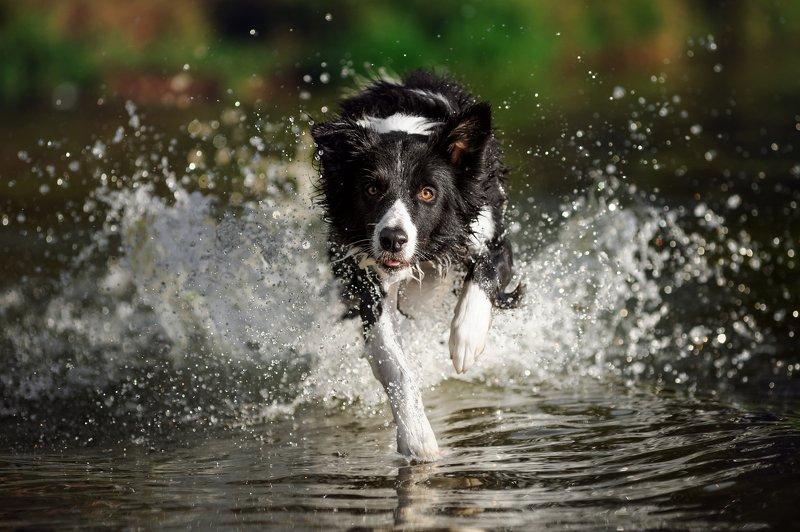 бордер колли, собака, бордер, бежит, питомец, движение, уши, пёс, любимец, вода, брызги «Солнце, воздух и вода — наши лучшие друзья!»photo preview