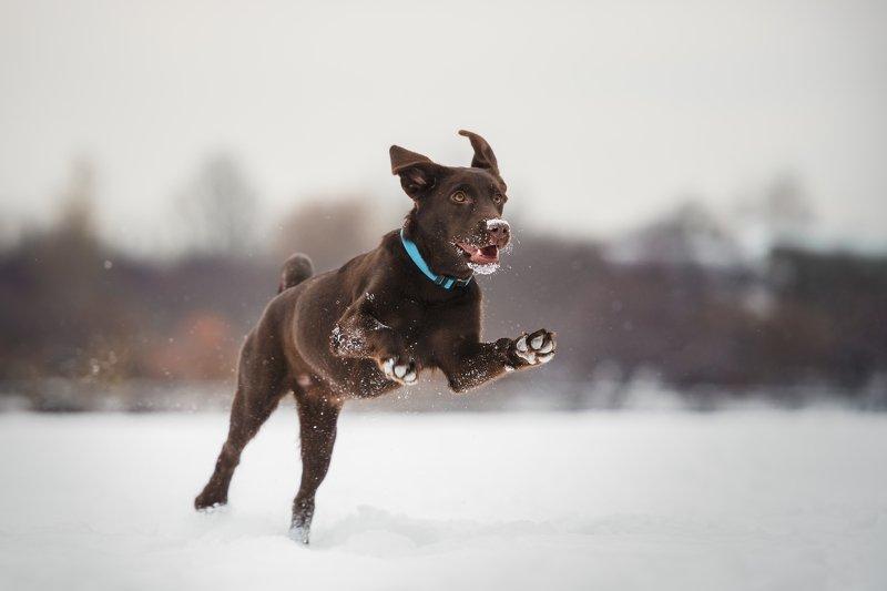 лабрадор, собака, ретривер, бежит, питомец, движение, уши, пёс, любимец, щенок, шоколадный «Вскачь несётся полькой быстрой...»photo preview