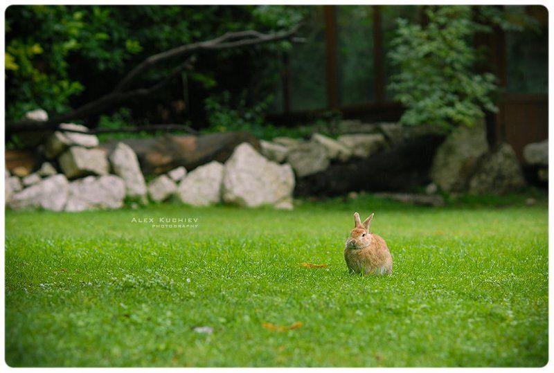 кролик, заяц, природа, кучиев, александр, зеленая трава Кролл\'sphoto preview