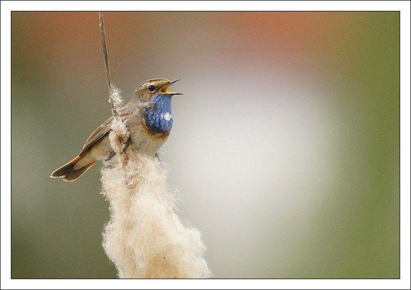 luscinia svecica,птица,фотоохота,варакушка Варакушкаphoto preview