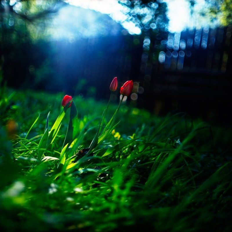 дача, цветы, весна, тюльпаны Весенняя свежестьphoto preview
