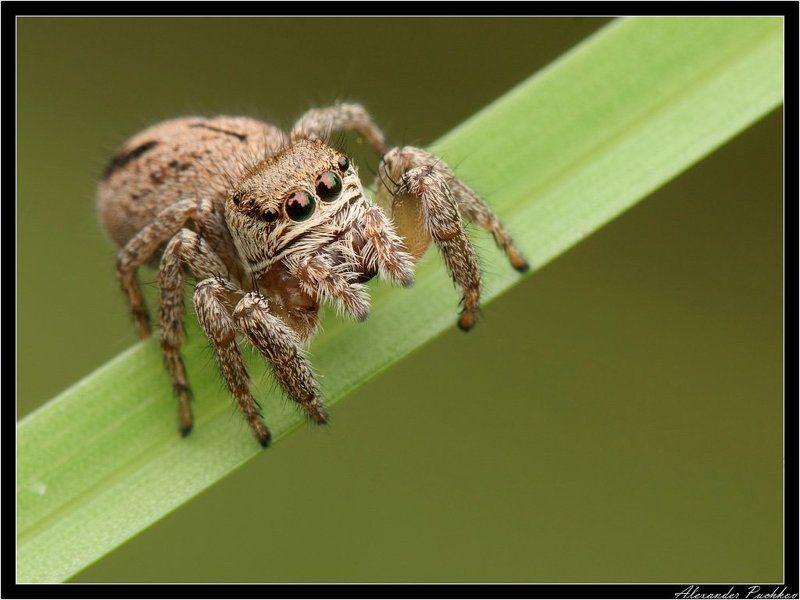 макро, паук, скакун Дядь, а дядь, дай десять копеек!?photo preview