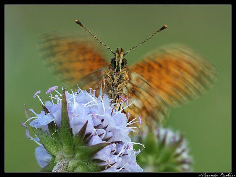 макро, бабочка, перламутровка, селена Крылышками бяк-бяк-бяк-бяк...photo preview