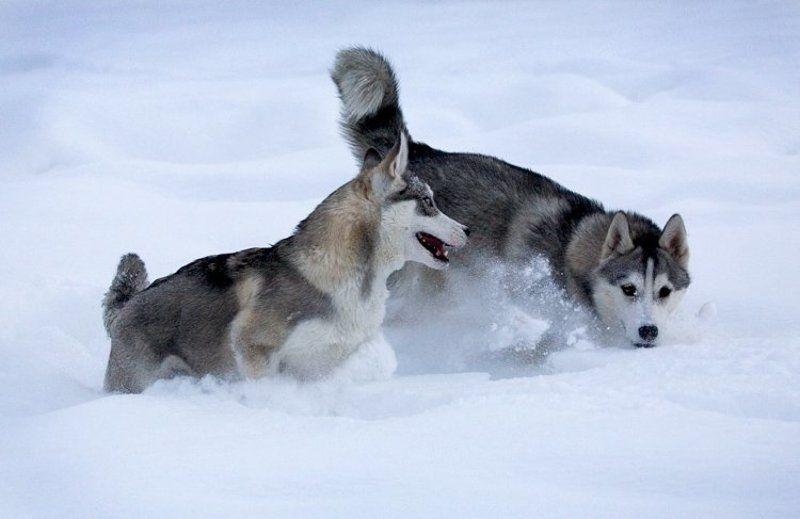 северные ездовые собаки, хаски Хасятаphoto preview