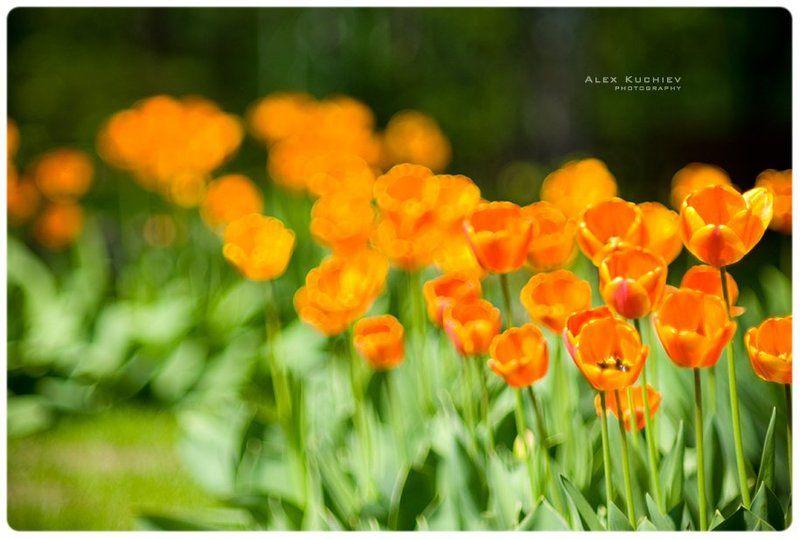 тюльпаны, весна, солнце Тюльпаныphoto preview