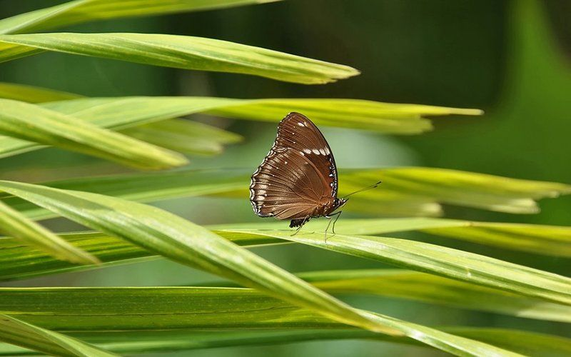 лунная бабочка,вьетнам, Сон - траваphoto preview
