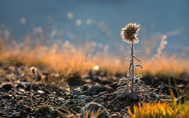 горы, алтай, горный алтай, ник васильев, красота, утро, трава, боке, цветок, Старый да малый.photo preview