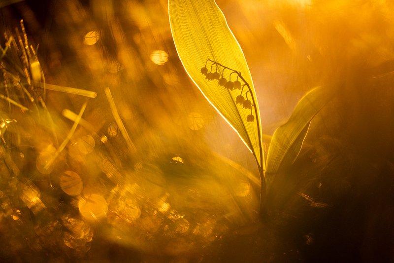 цветы, цветок, макро, растения, природа, ландыш, флора, лес, трава, закат, весна Теплый весенний вечерphoto preview