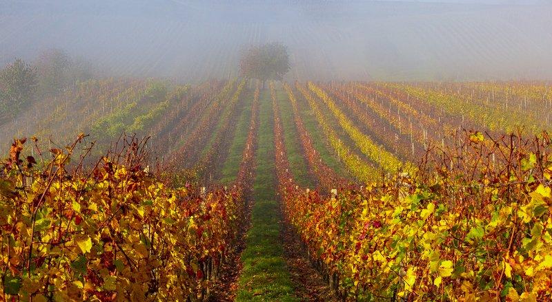 моравия , туман ,дерево , виноградники photo preview
