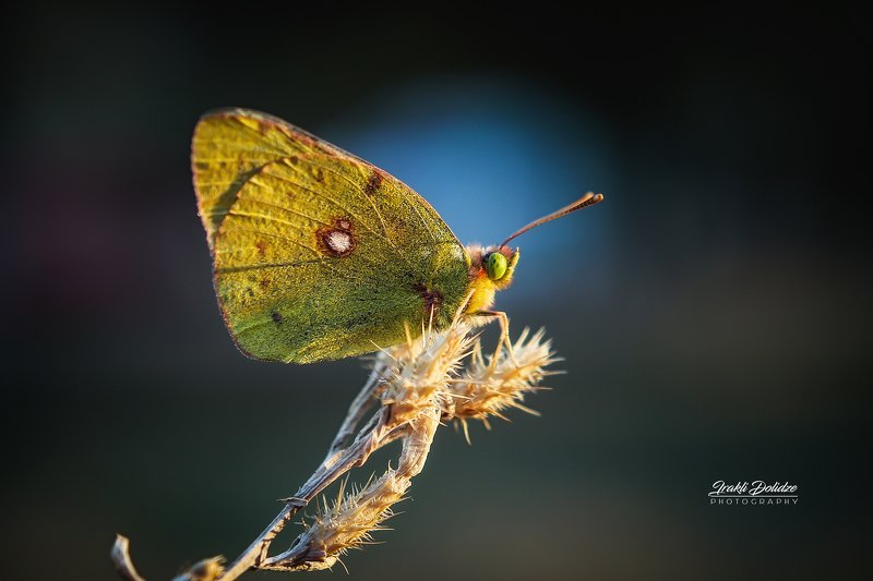 butterfly, yellow, nature Yellow butterfly - Colias croceusphoto preview