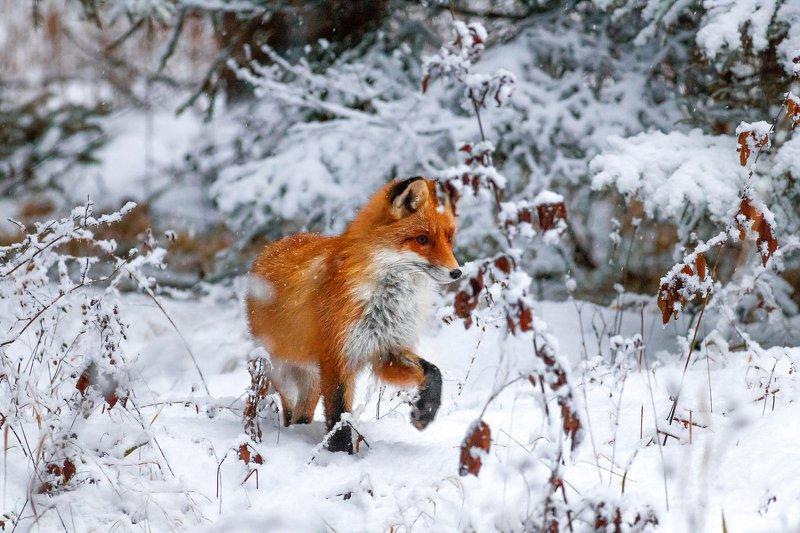 Лиса, Рыжая, Fox, Red Fox, Winter, Снег, зимний лес, дикая, животное, Рыжая лиса, Лисичка Лисичка сестричка photo preview