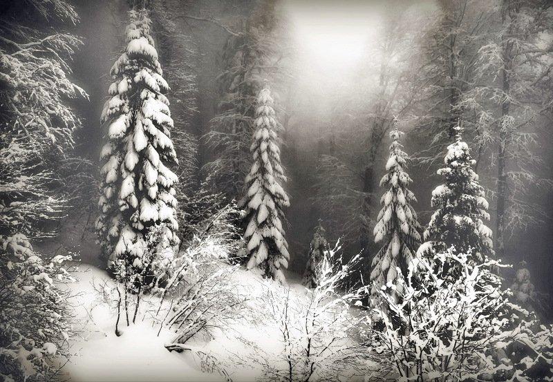 пихты зима Зимним днёмphoto preview