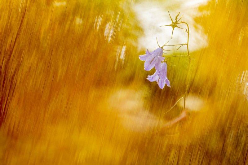 цветы,цветок,колокольчик,макро,растения,флора Солнечный дождьphoto preview