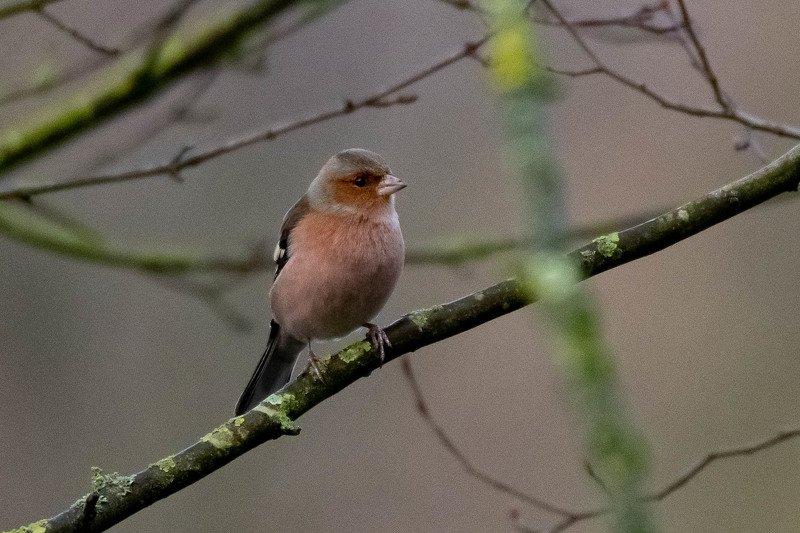 fringilla coelebs; nature; bird; sparrow; Pinson des arbresphoto preview