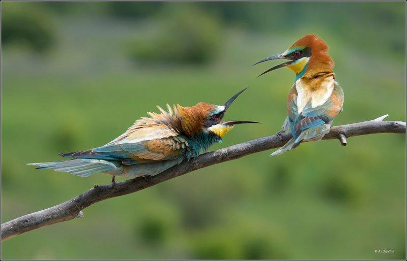 щурки,милые,птички Совсем милые птички )photo preview