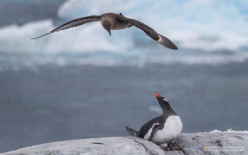 dramatic, polar climate, antarctic, antarctic skua , antarctica, cold, romantic, extreme, gentoo penguin БОРЬБА ЗА ВЫЖИВАНИЕphoto preview