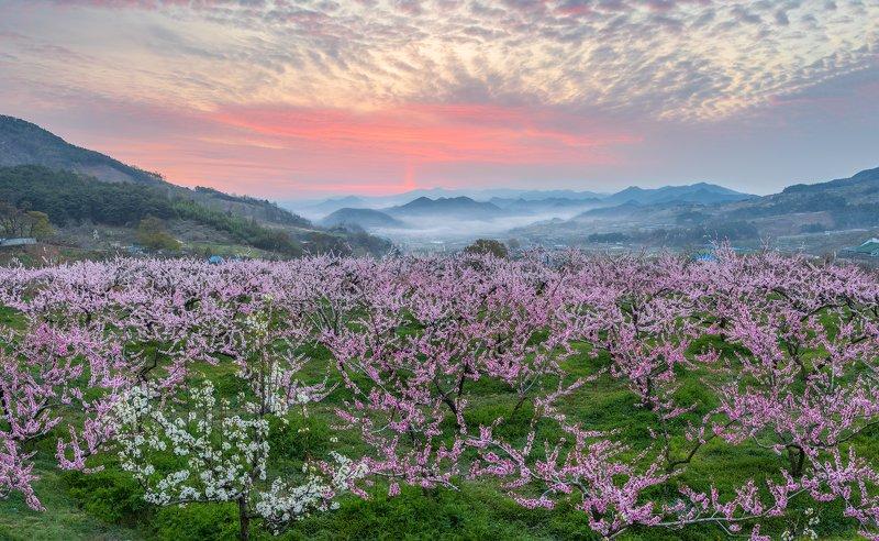 flower, spring, bloom, oriental, place, korea Peach Blooming Hillsphoto preview