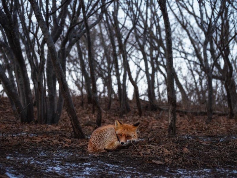 приморье, русский, владивосток Грустный лисенок в осеннем лесу.photo preview