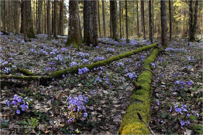 печеночница, благородная, перелеска, лес, цветы, hepática, nóbilis Перелескаphoto preview