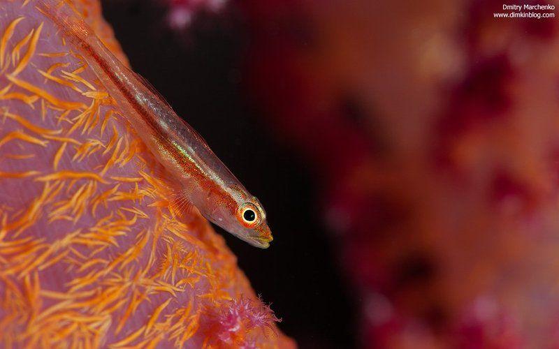 гоби, коралл, underwater, goby ***photo preview