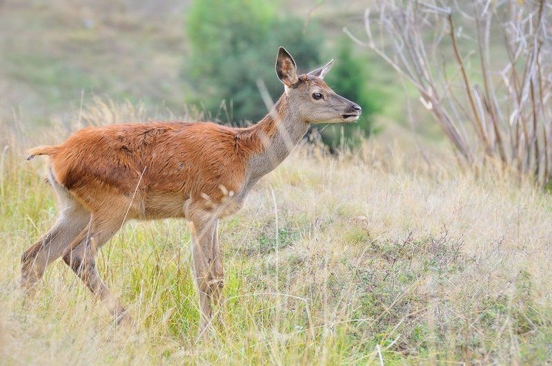 Red deer (Cervus elaphus)-youngphoto preview